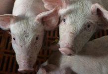 Ставропольский край: Выявлен очаг африканской чумы свиней