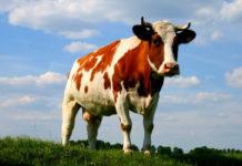 Во Владикавказе сняли на видео «коровавирус» - видео